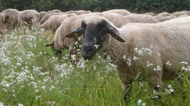 Schafe fressen Sumpfschafgarbe (Foto: Nick Stark)